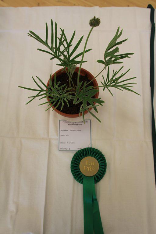 1:a pris,Vildart som vuxit naturligt, P.luridum. Veronica Olsson