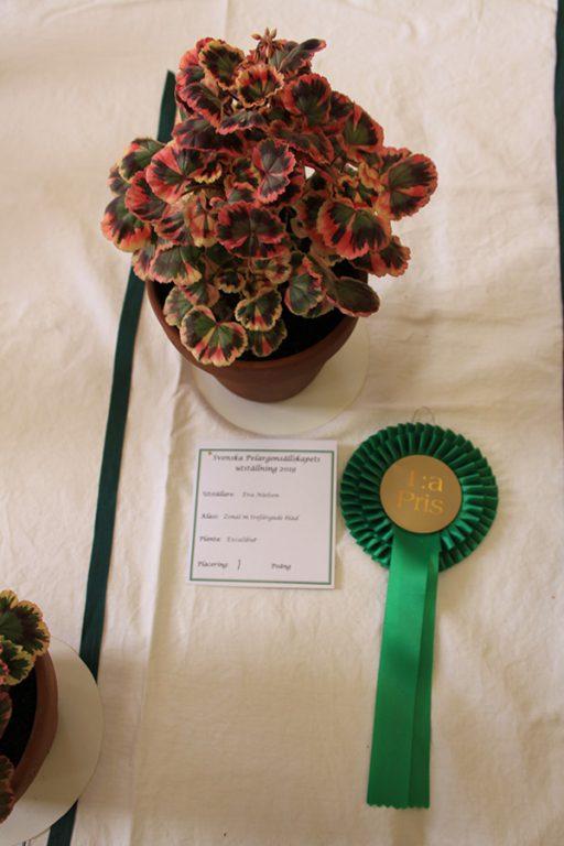 1:a pris, Zonalpelargon med trefärgade blad, Excalubur. Eva Nielsen